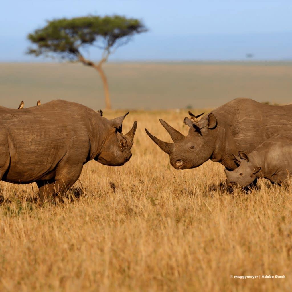 Masai Mara Nashoerner