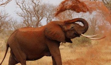 Tsavo Ost Roter Elefant