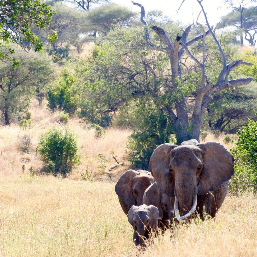 Elefanten Tarangire Nationalpark