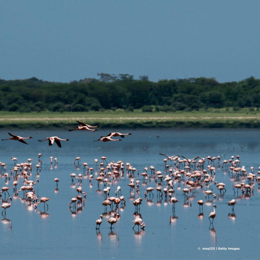 Lake Manyara Flamingo