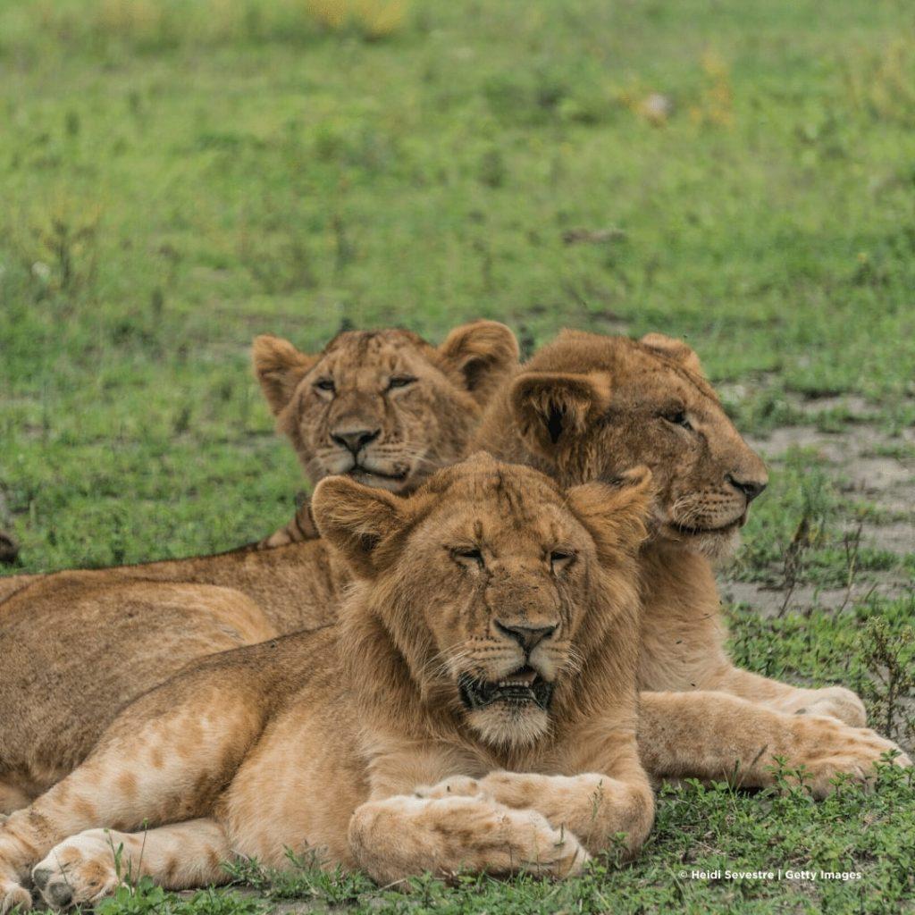 Manyara Nationalpark Löwen