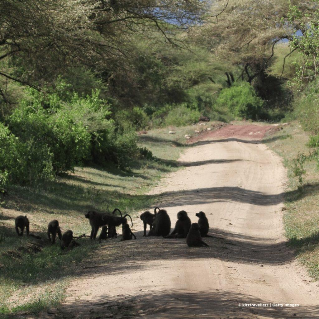 Manyara Nationalpark Paviane
