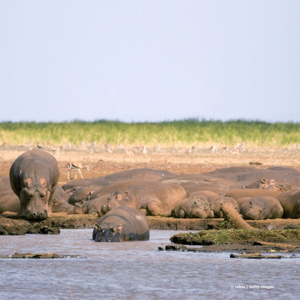 Manyara See Fluspferde