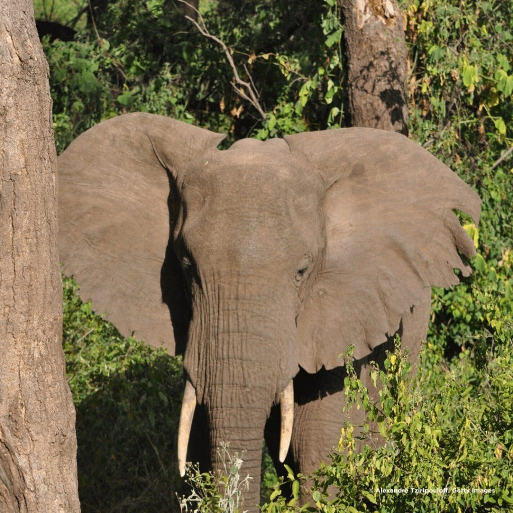 Manyara Elefant