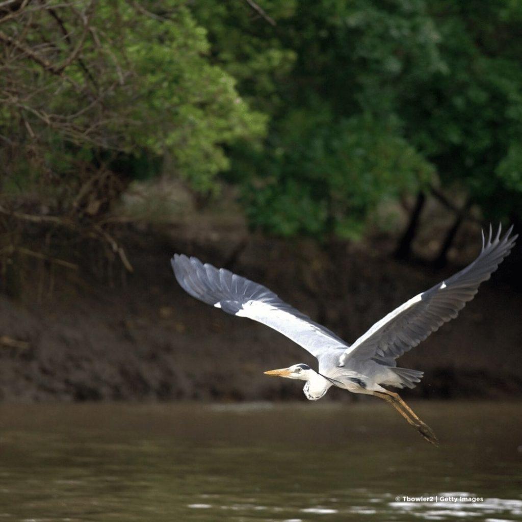 Saadani Nationalpark Blaureiher