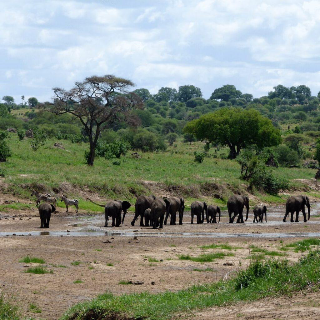 Tarangire Fluss Elefanten