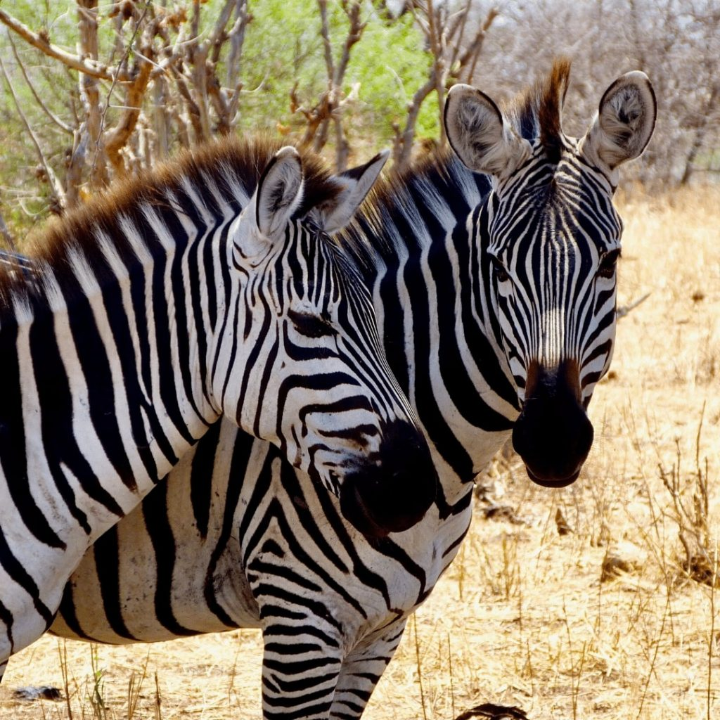 Tarangire Nationalpark Zebras