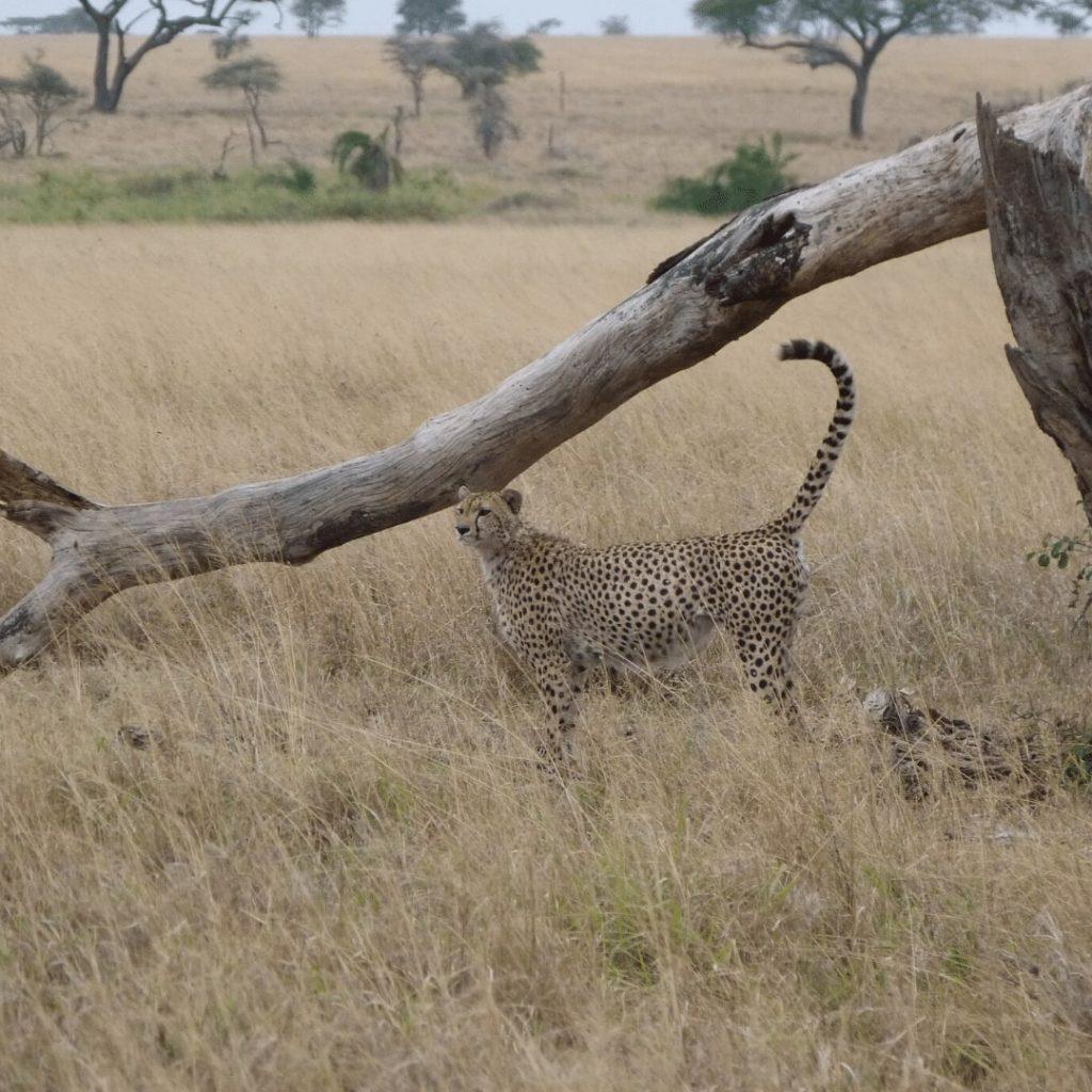 Gepard in Serengeti