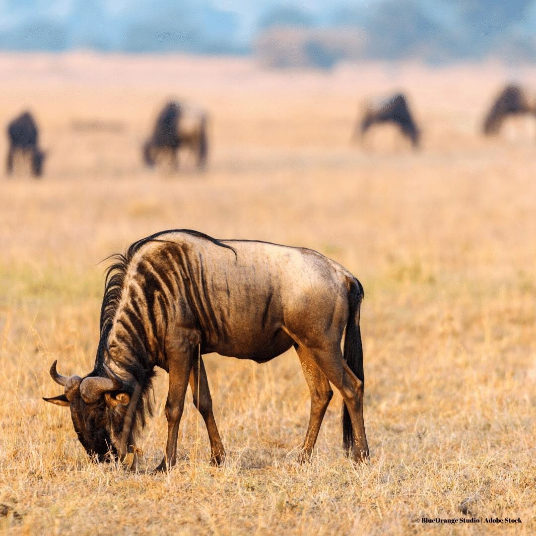 Masai Mara große Tierwanderung