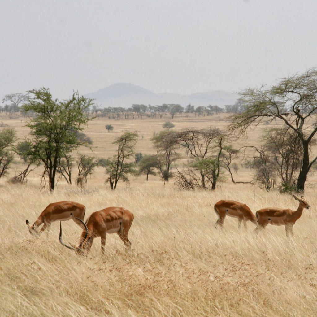 Impalas in Serengeti