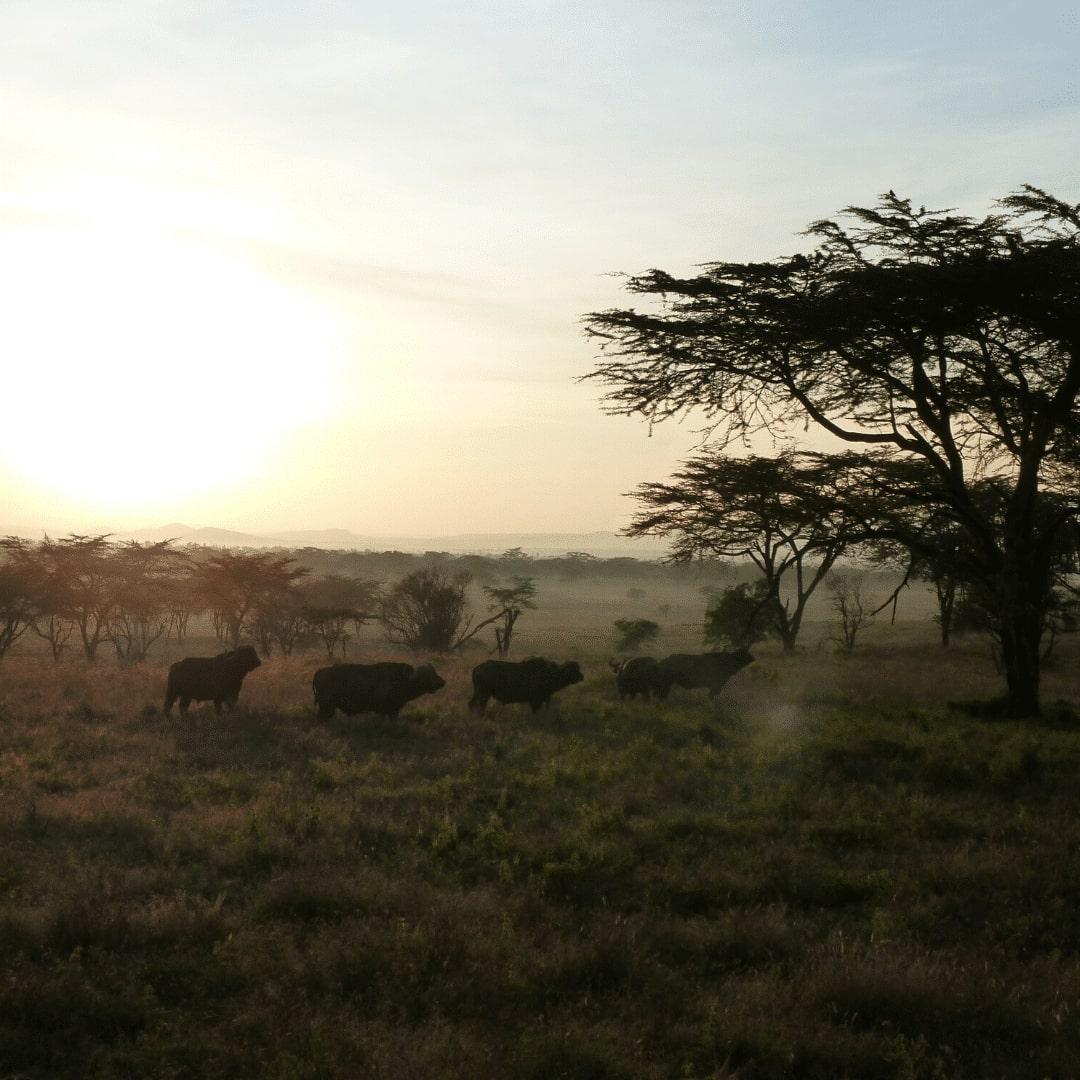 Lake Nakuru Büffelherde