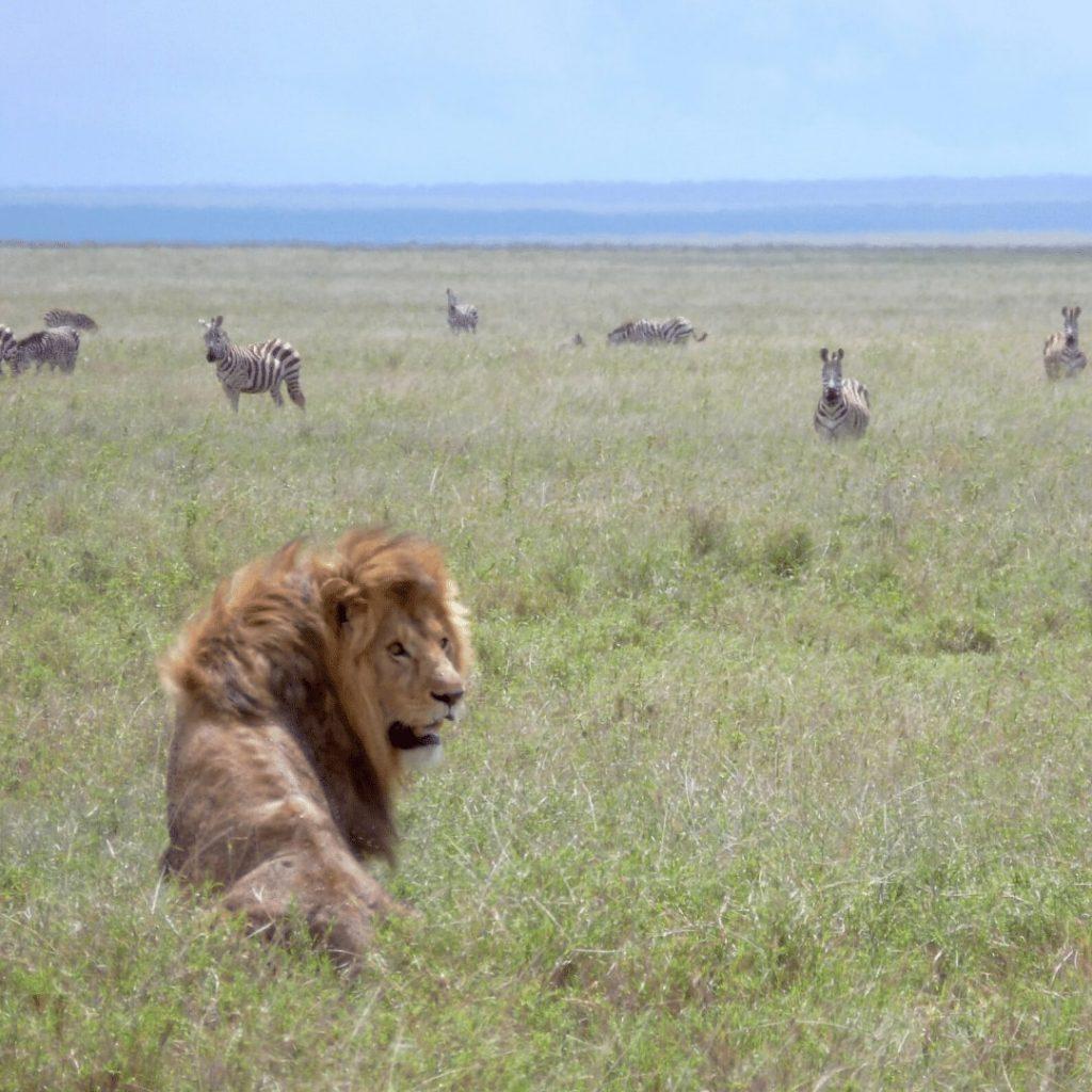 Löwe und Zebras in Serengeti