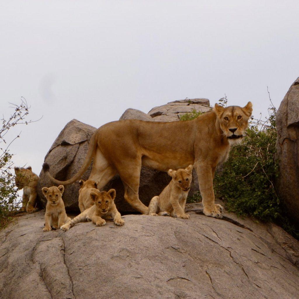 Löwin mit Jungen in Serengeti