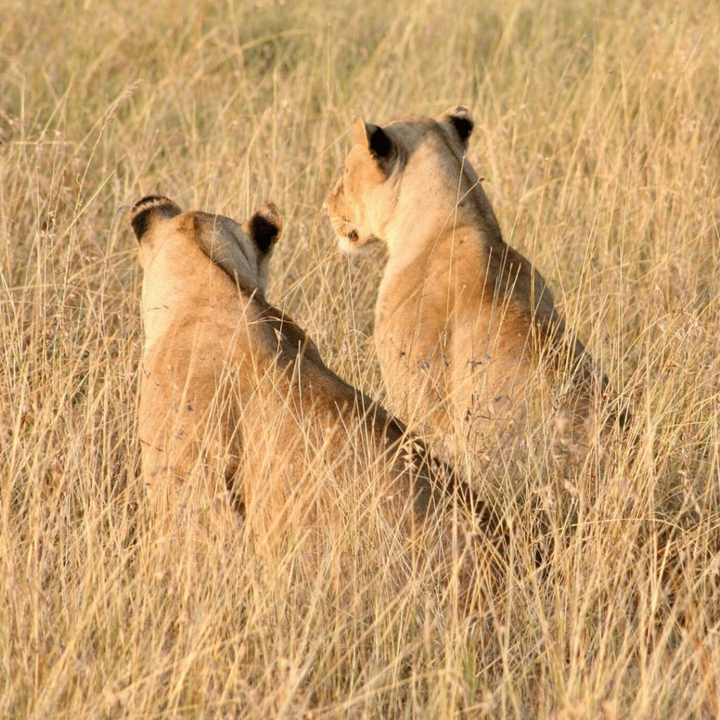 Löwinnen in Serengeti
