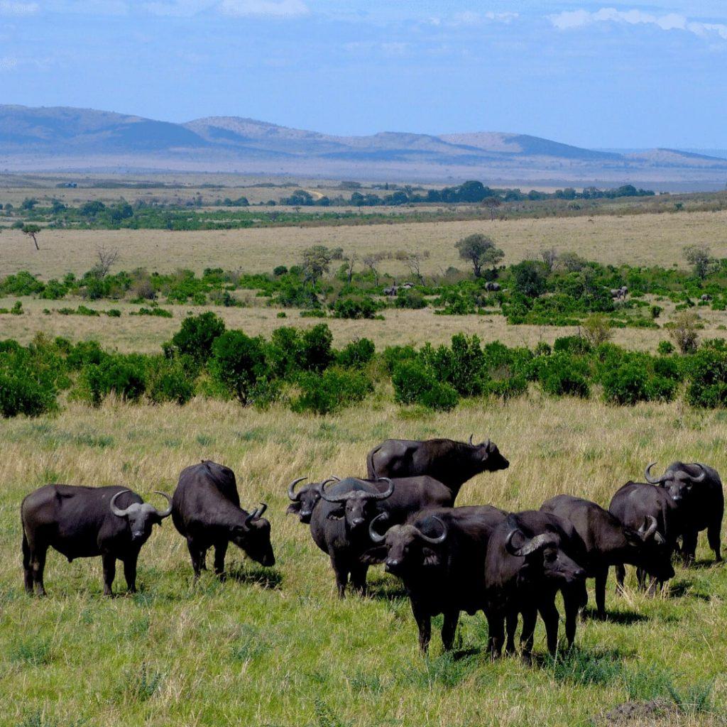 Masai Mara Büffelherde