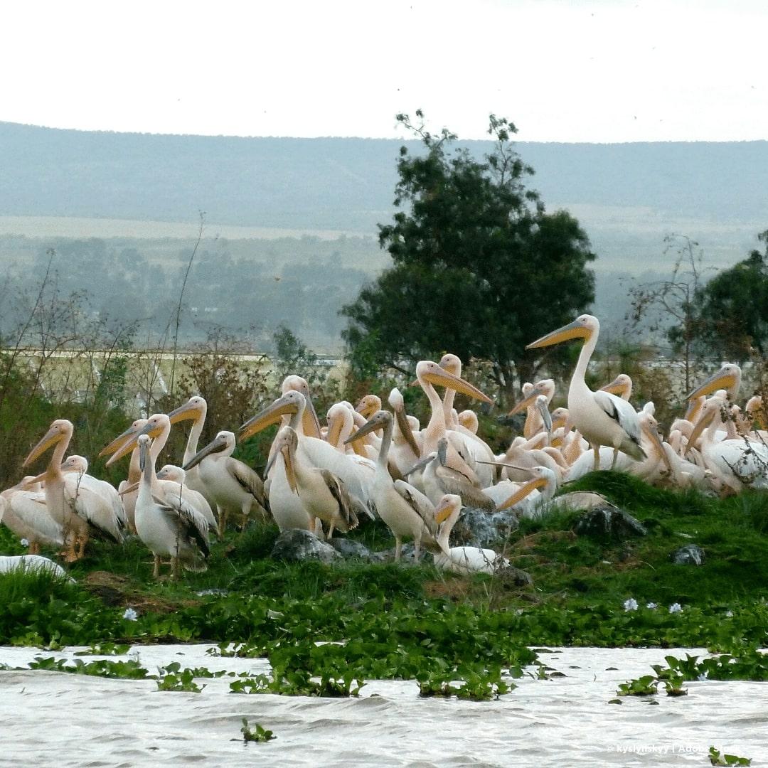 Naivasha-See Pelikane