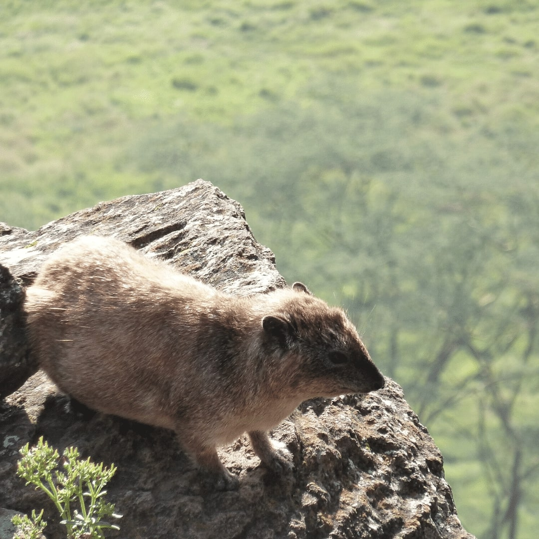 Nakuru Aussichtspunkt Klippspringer