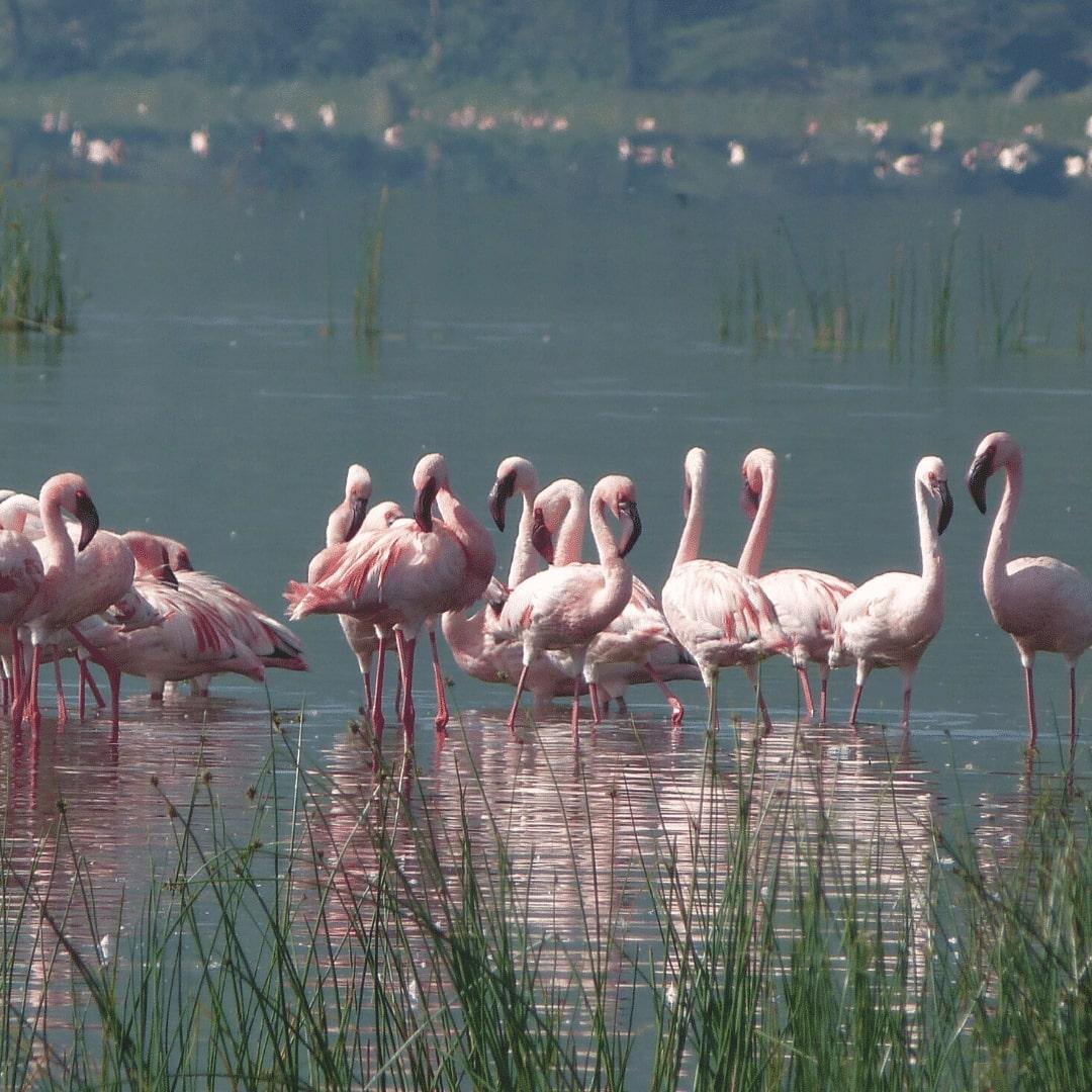 Nakuru See Flamingos