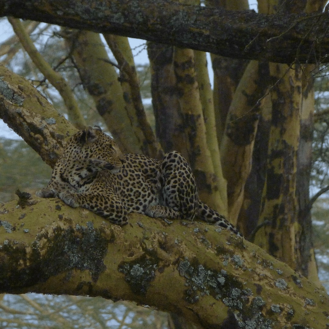Lake Nakuru Nationalpark Leopard