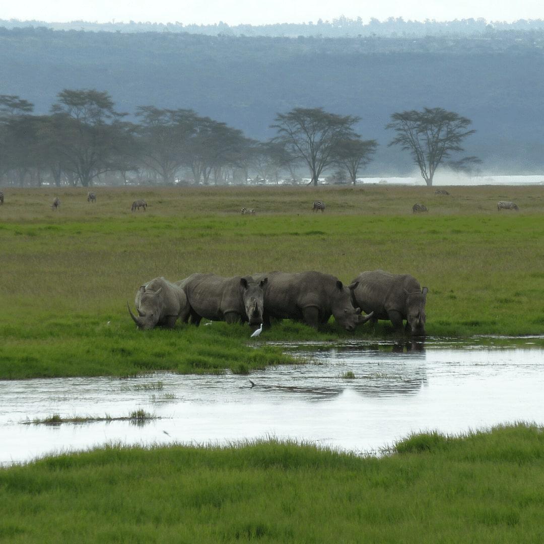 Nakuru Spitzmaulnashörner