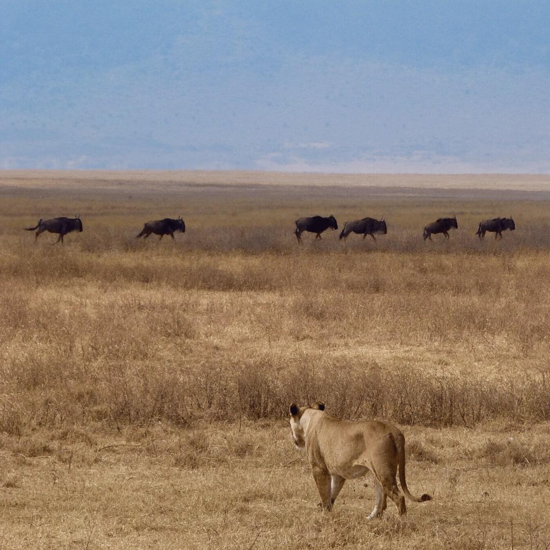 Ngorongoro Krater Löwin