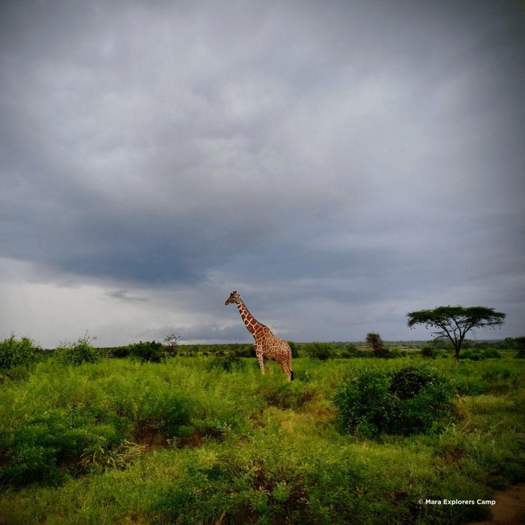 Samburu National Reserve Giraffe