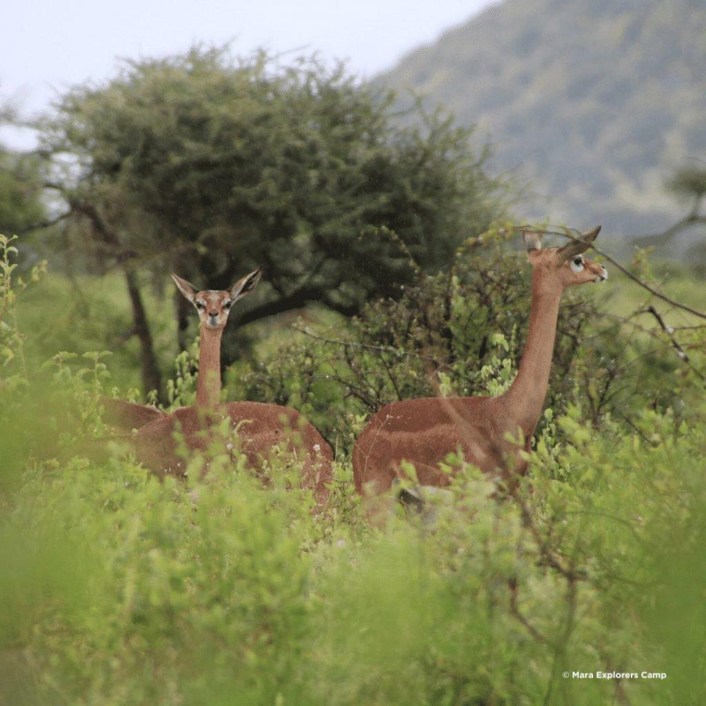 Samburu Giraffengazellen