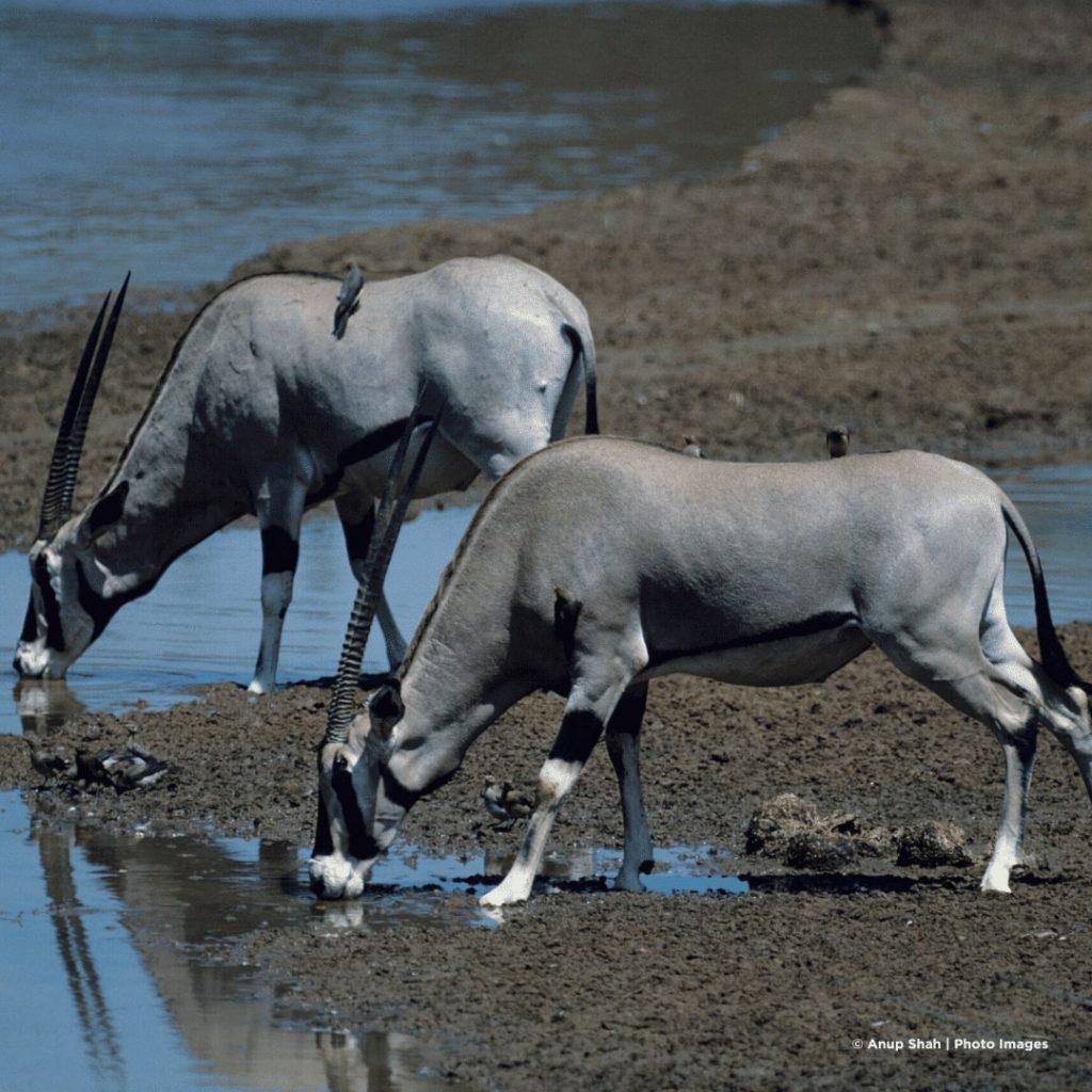 Samburu Ostafrikanische Oryx