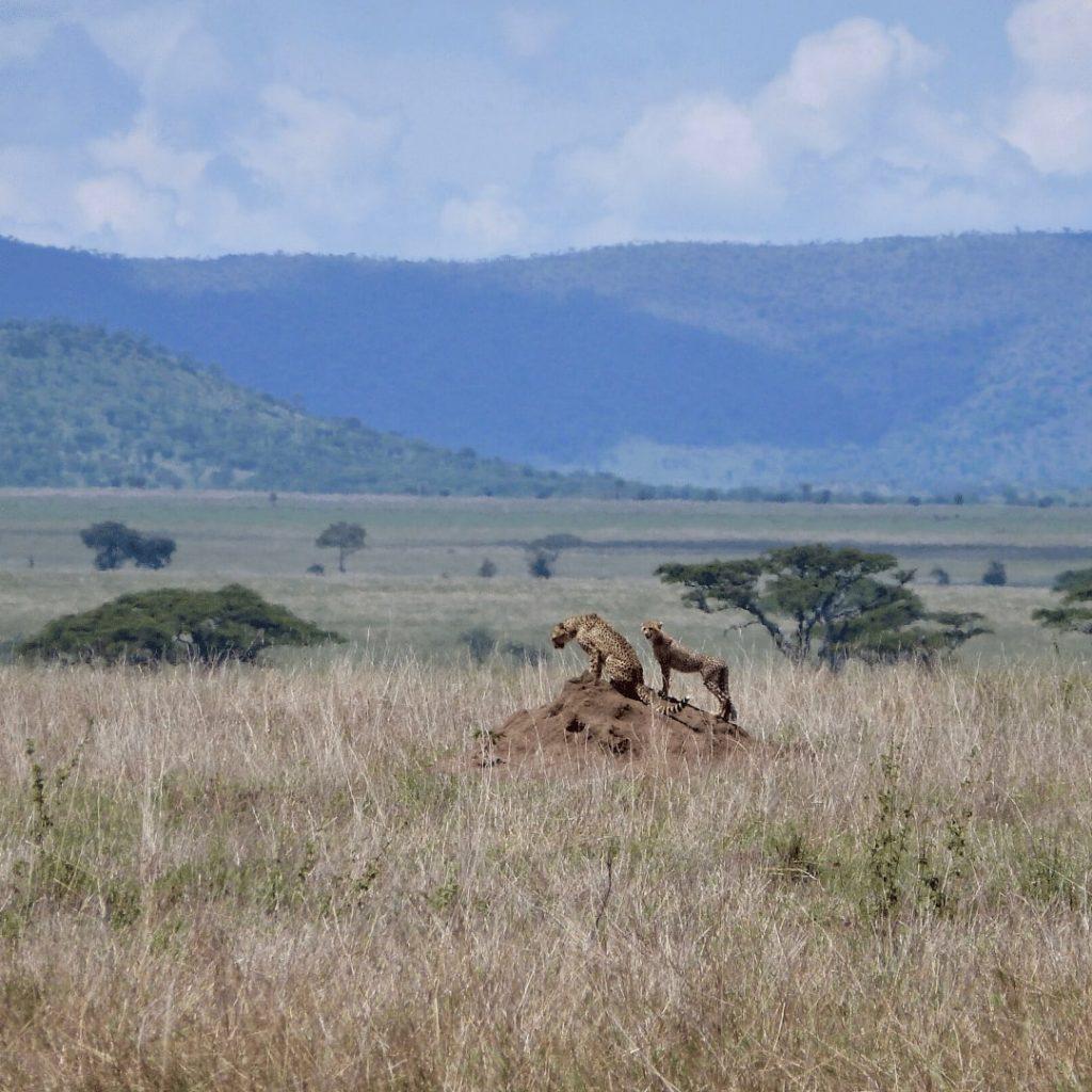 Zwei Geparden in Serengeti