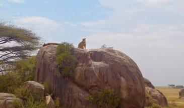 Serengeti Löwin auf Kopie