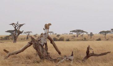 Serengeti Gepard