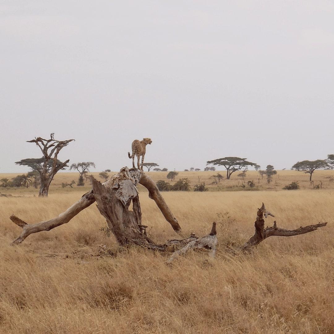 Serengeti Nationalpark Gepard
