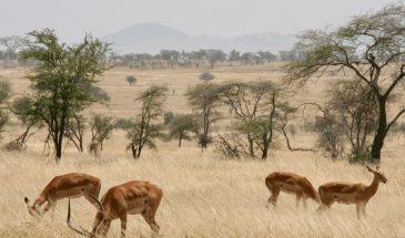 serengeti_impalas-2
