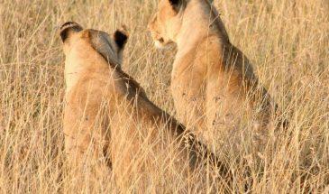 Serengeti Löwinnen
