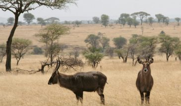 Serengeti Wasserbüffel