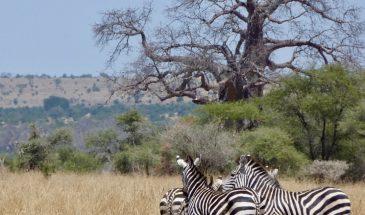 Tarangire Zebras