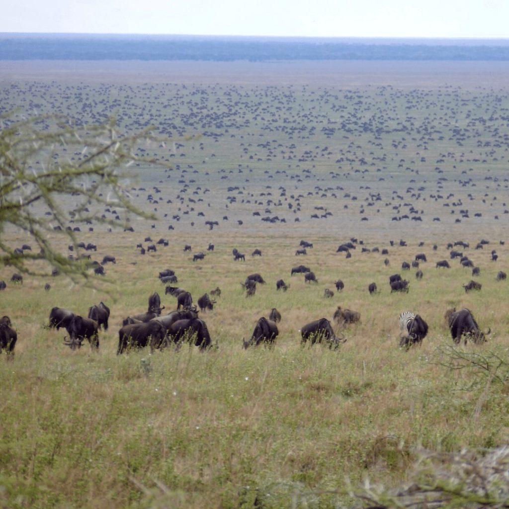 Serengeti große Tierwanderung
