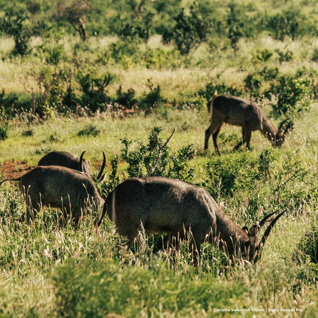 Tsavo Ost Nationalpark Antilopen
