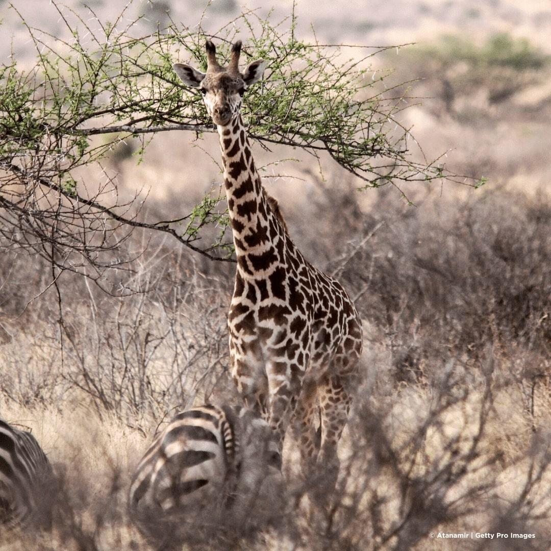 Tsavo Ost Giraffe