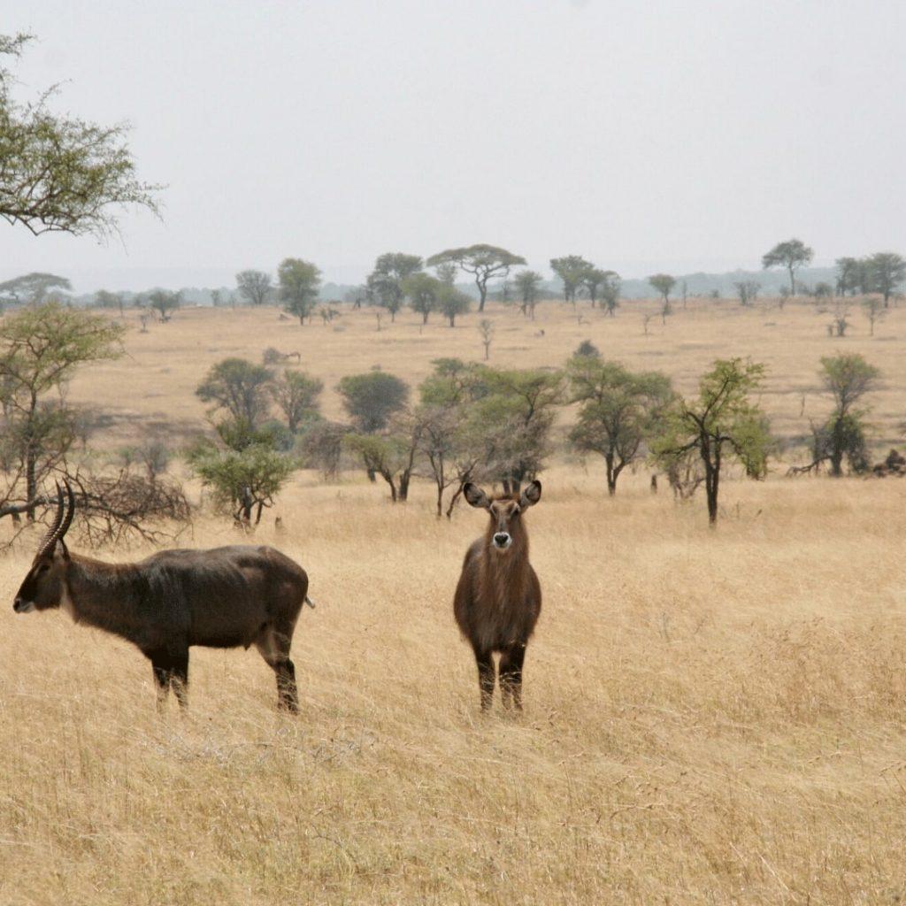 Wasserböcke in Serengeti